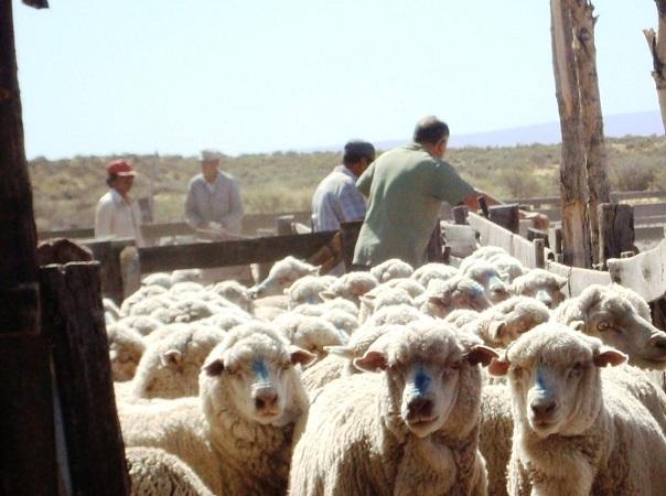 El mercado de lanas medias se movió fuerte en la última semana