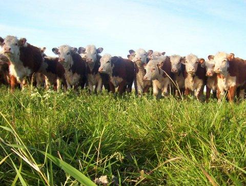 Los precios y la demanda  del mercado crece junto a  la faena del ganado gordo